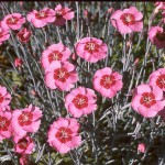 Гвоздика альпийская(Dianthus alpinus)