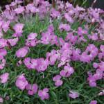 Гвоздика (Dianthus gratianopolitanus)