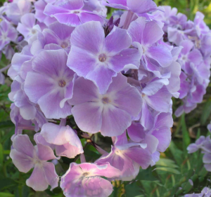 Флоксы Phlox Miss Kelly