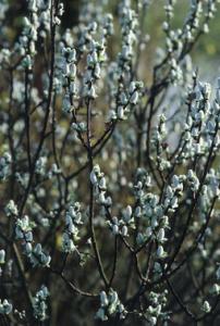 Salix hastata Wehrhahnii