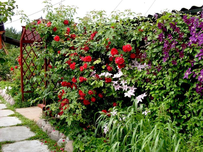 Садовые лианы вьющиеся растения для