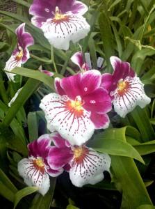 Орхидея мильтониопсис Miltoniopsis