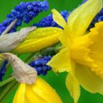 Весенний цветок – Мускари