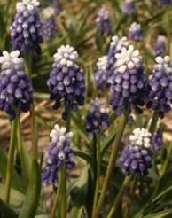 Мускари лазоревый (Muscari azureum Mount Hood)
