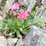 Альпинарий – цветы на скалах