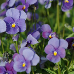 фиалка рогатая (Viola cornuta)