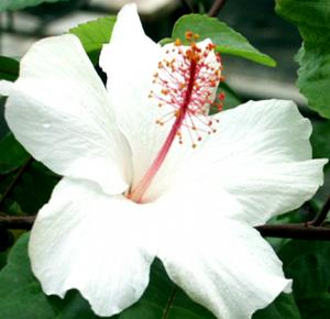 гибискус белый