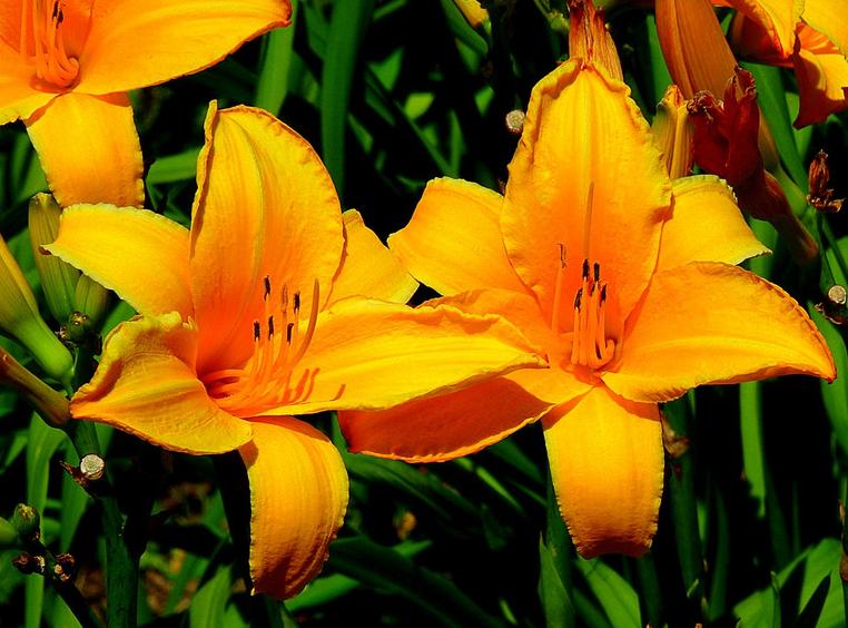 лилейники желтые