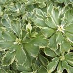 пахизандра (Pachysandra)