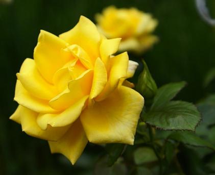 Чтобы роза хорошо укоренилась, нужно ...: moycvetnik.ru/rasteniya-dlya-sada/tsvetyi/mnogoletnie-rasteniya...