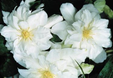 Белый клематис (Clematis Arctic Queen)