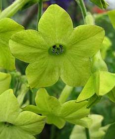Душистый табак (Nicotiana Alata)