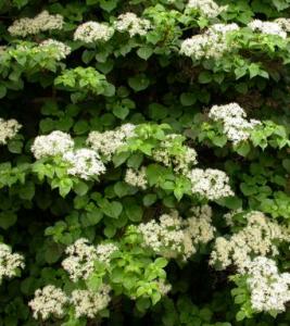 Гортензия черешковая (Hydrangea anomala)