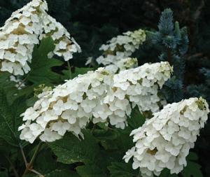 Гортензия дуболистная (Hydrangea quercifolia)