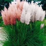 Пампасная трава – кортадерия