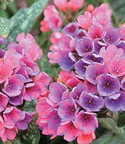 Медуница (Pulmonaria – Raspberry Splash)