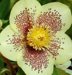 Морозник (Lenten Rose - Golden Sunrise)