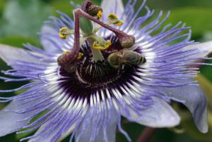 Пассифлора голубая Passiflora caerulea
