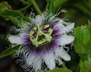 Пассифлора Passiflora Granadilla