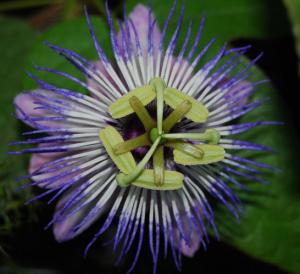 Пассифлора Passiflora foetida