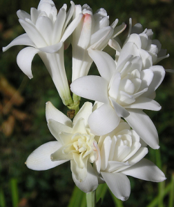 Тубероза (Polianthes Tuberosa)