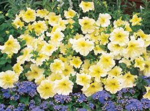 петунии бело-желтые