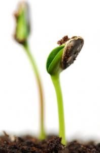 размножение кустарников семенами