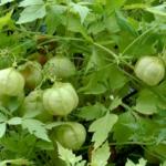 Кардиоспермум садовый