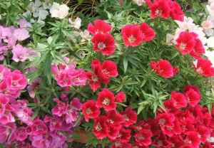 кларкия цветы