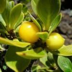Копросма – кофейная ягода