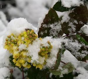 бересклет Форчуна зимой