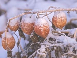 физалис зимой