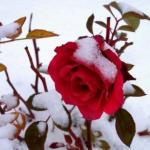 Хранение саженцев роз зимой