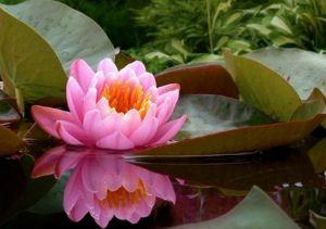 Нимфея-водяная лилия