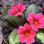 Примулы открывают цветочный сезон