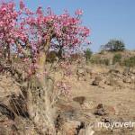 Адениум тучный — выращивание, уход