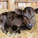 Выращивание теленка в условиях мини фермы